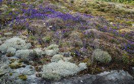 Styvmorsvioler på berghäll i Småland  (Sweden)