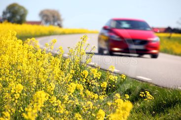 Yellow rapeseed fields and a red car in Sweden