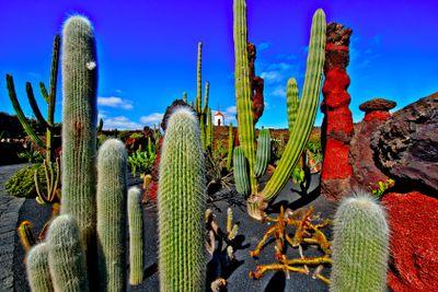 spain,canary islands,lanzarote : cactus' garden