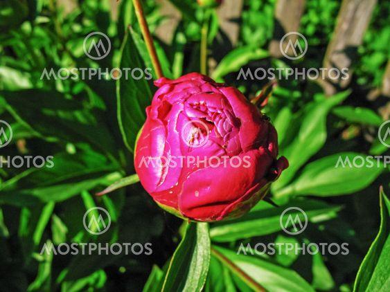 Red flower - rosehip.