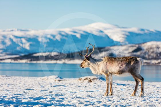 Reindeer in Northern Norway