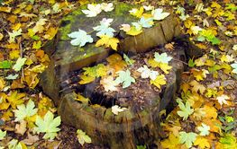 stump with leaves