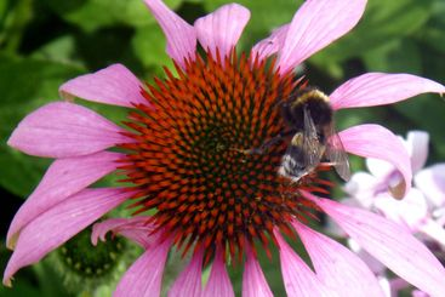 Flower_bumblebee