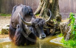 closeup of a wild yak taking a bath in a water puddle,...