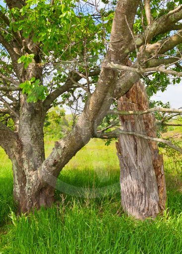 A healthy tree grows next to the trunk of a dead one