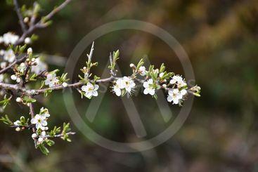 Gren med blommande slånbärsblommor