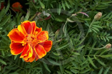 Orange flower among greenery. Marigold