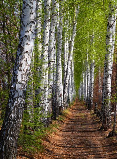 spring birch woods alley