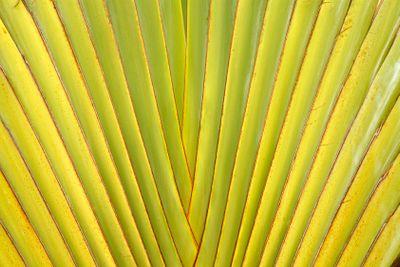 Leaf stalk of Traveller Palm