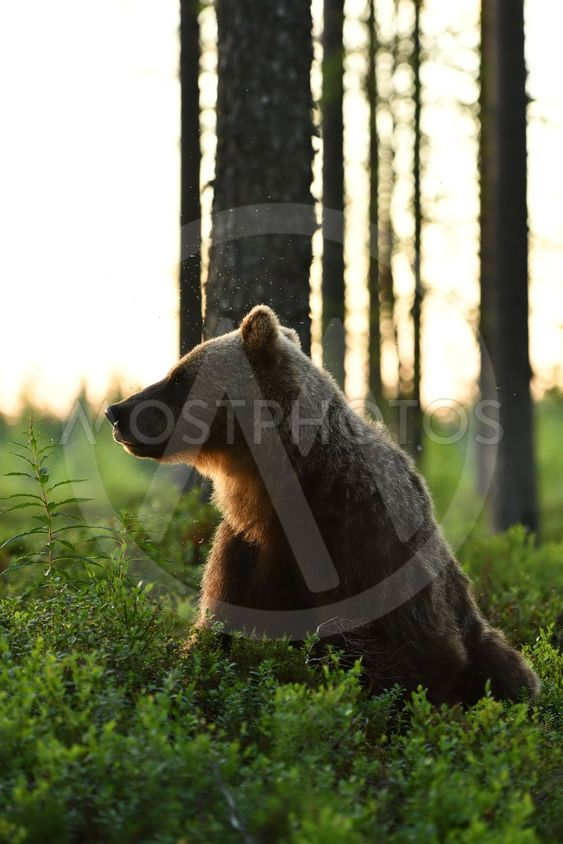 Brown bear sitting in a forest