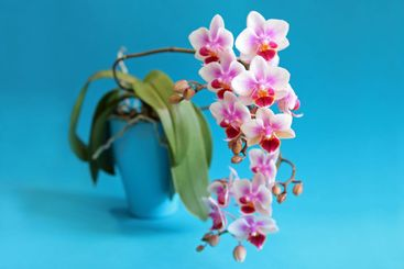 White orchid in turquoise flowerpot with turquoise...