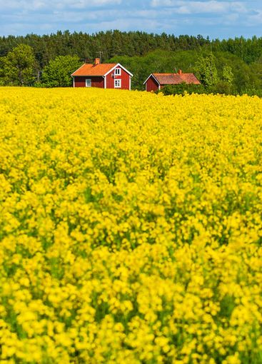 Yellow rapeseed field in front of red houses