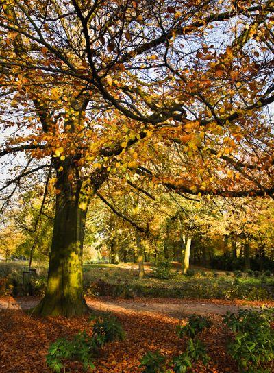 Beech tree in fall in park