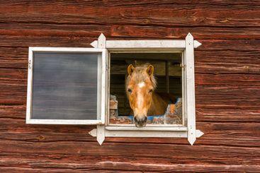 Häst som tittar ut genom fönster på stall.
