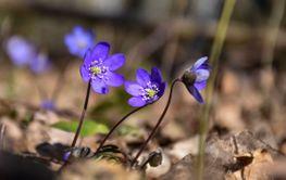 Blommande blåsippor i skogen
