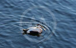 En Ejderhane i lugnt vatten