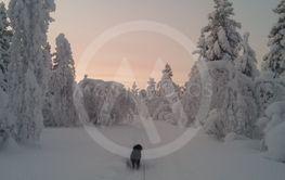Finsk lapphund bland snöfyllda träd
