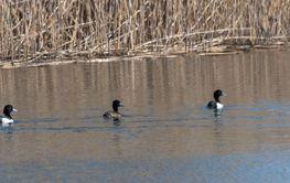 Vigg simmar på rad i en sjö
