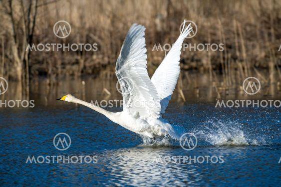 Sångsvan som startar en flygning från  vatten