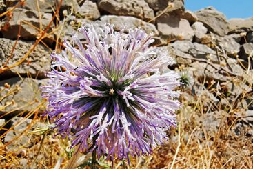 Ball thistle macro outdoor in nature in front of a stone...