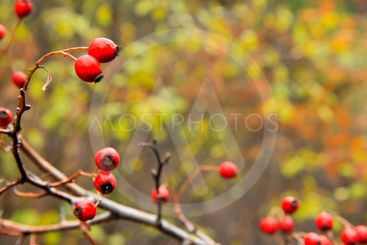 Red dog rose hips on the dog rose bush without leaves