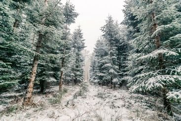 Forest with pine trees in the winter