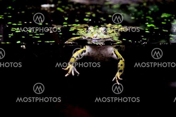 Svømning frog... HI!