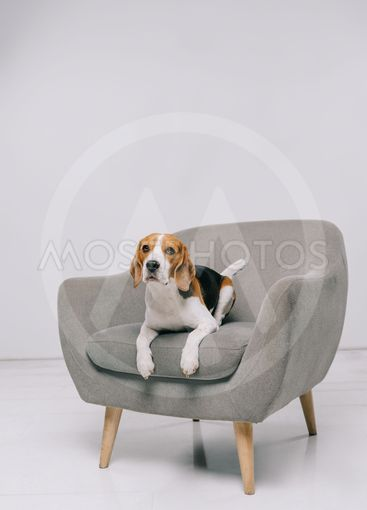 adorable beagle dog lying in armchair on grey background