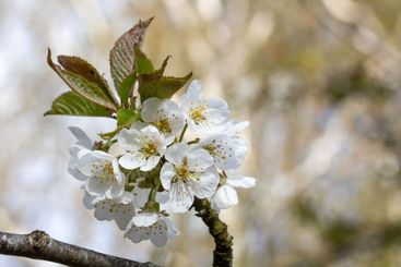White cherry blossoms with blurry background.