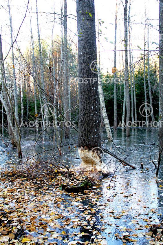 Höst i bäverskogen