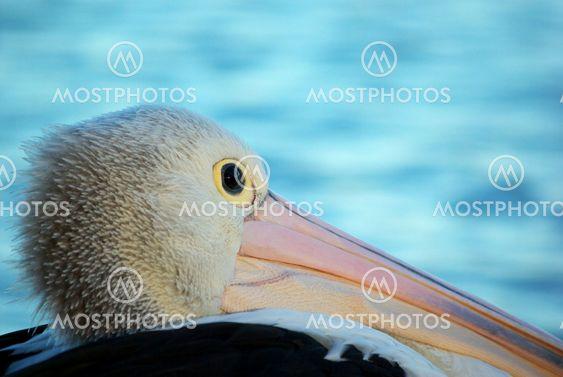 pelican background