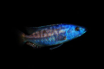 colorful african cichlid