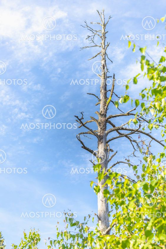 gammal lång torrfura högt över björkskogen mot blå himmel