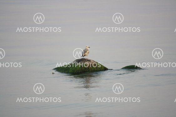 Fish Gull