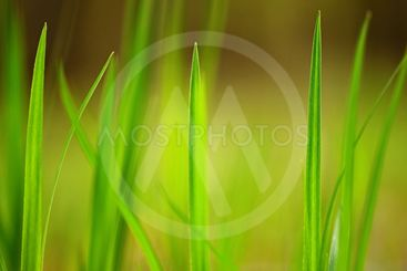 Beautiful natural green grass background.
