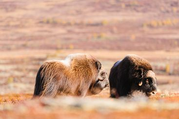 Musk ox animals standing in autumn landscape, Norway