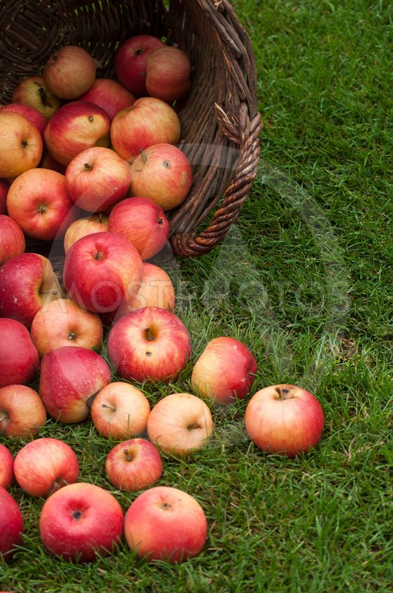 organic red apple falling from wooden basket
