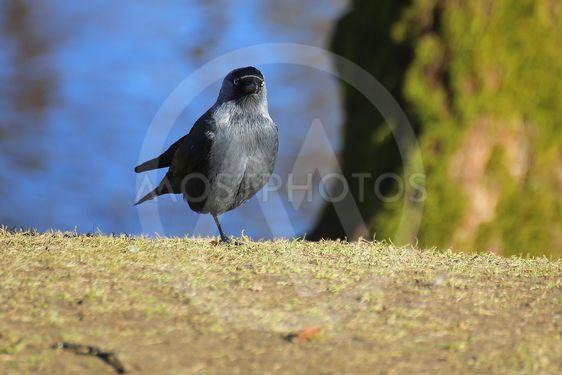 Western jackdaw (Corvus monedula) standing on single leg