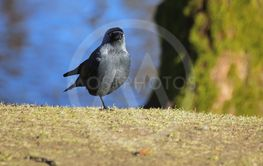 Western jackdaw (Corvus monedula) standing on single leg