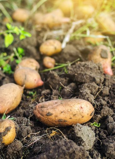 Potatoes are lying on the ground. Harvesting, harvest....