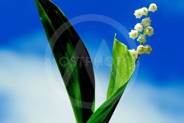 Forest lily of the valley