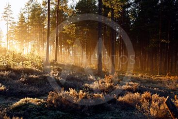 rising sun shining through frosty forest with yellow rays...