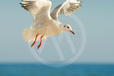 seagull in flight against the blue sky