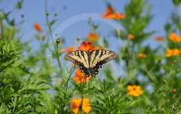 Monarch Sunning Wings