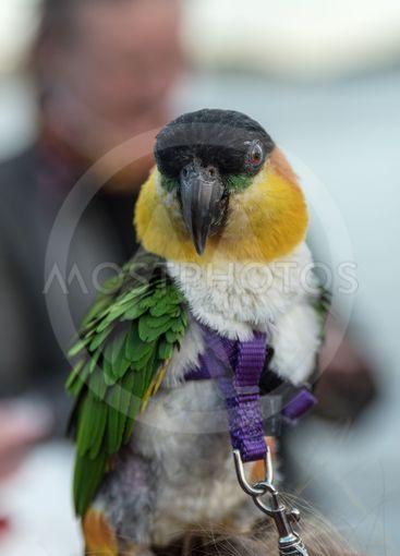 Liten fin Papegoja