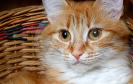 Red cat sitting in a wicker basket