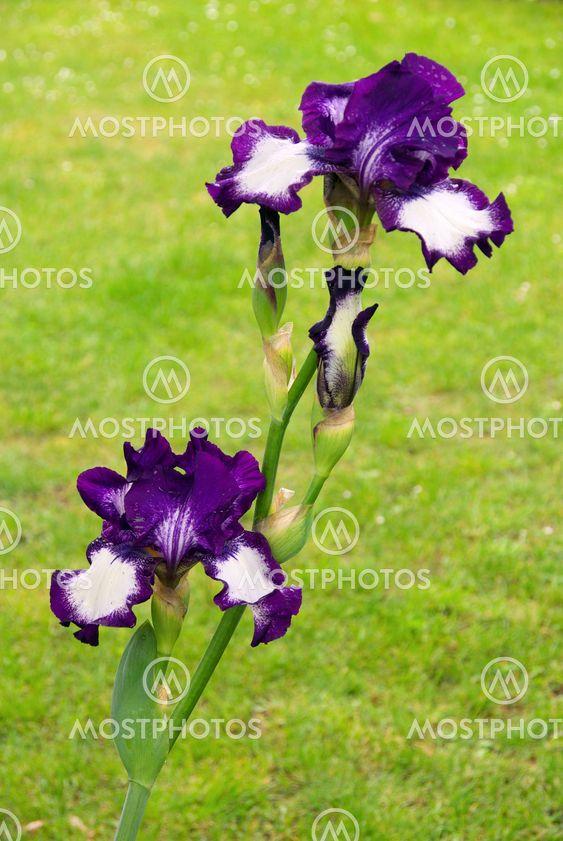 Schwertlilie - iris 52