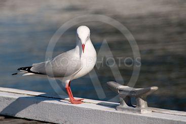 Humble Beauty - Seagull