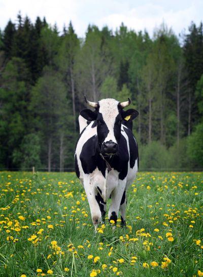 Ko på grönbete