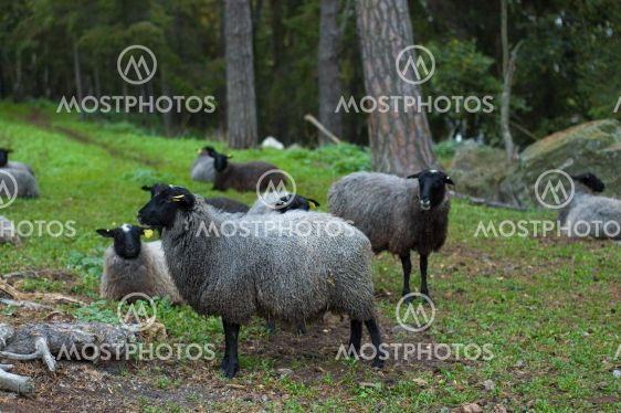 Får, Sheep